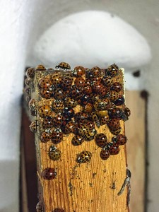 Close up of ladybirds in the tower clock room