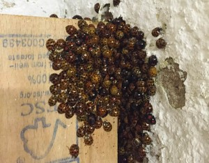 Ladybirds sheltering from the cold in the tower clock room